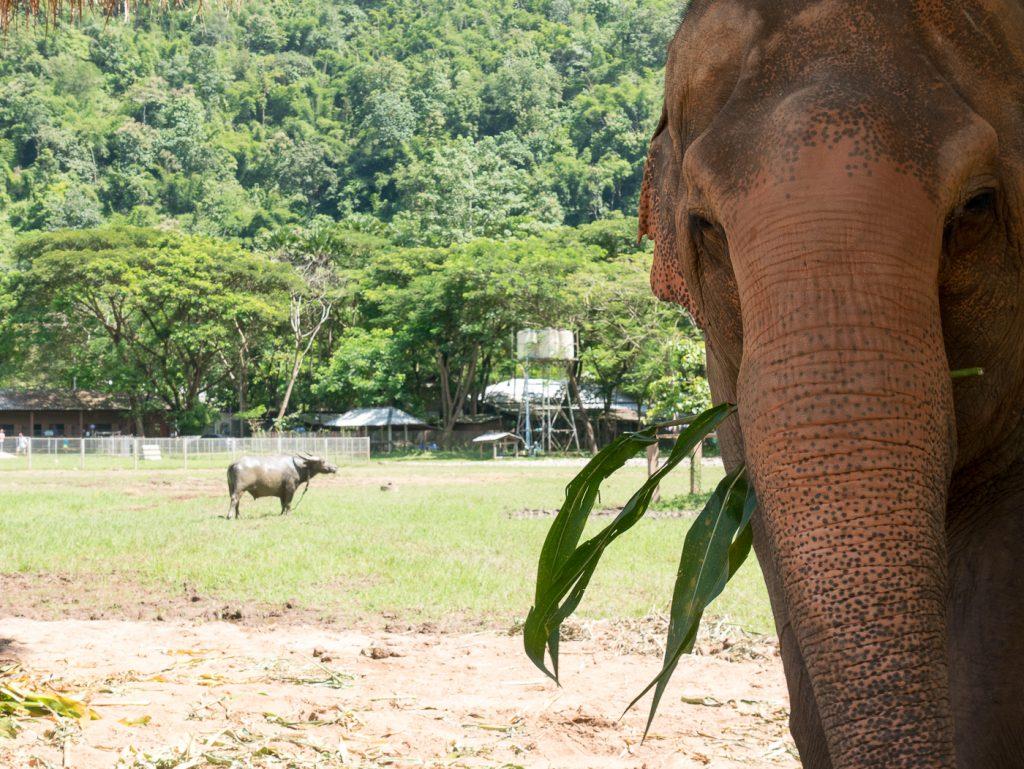Alte Elefanten im Elefant Natur Park