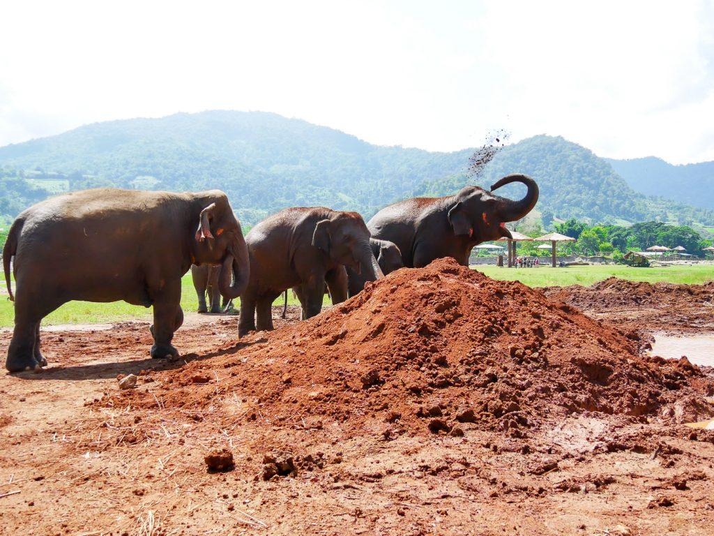 Elefanten spielen im Schlamm im Elefant Nature Park