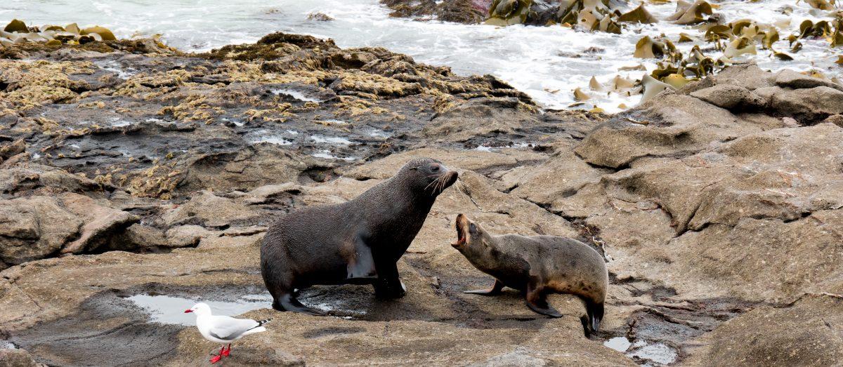 Katiki Point Robben Neuseeland