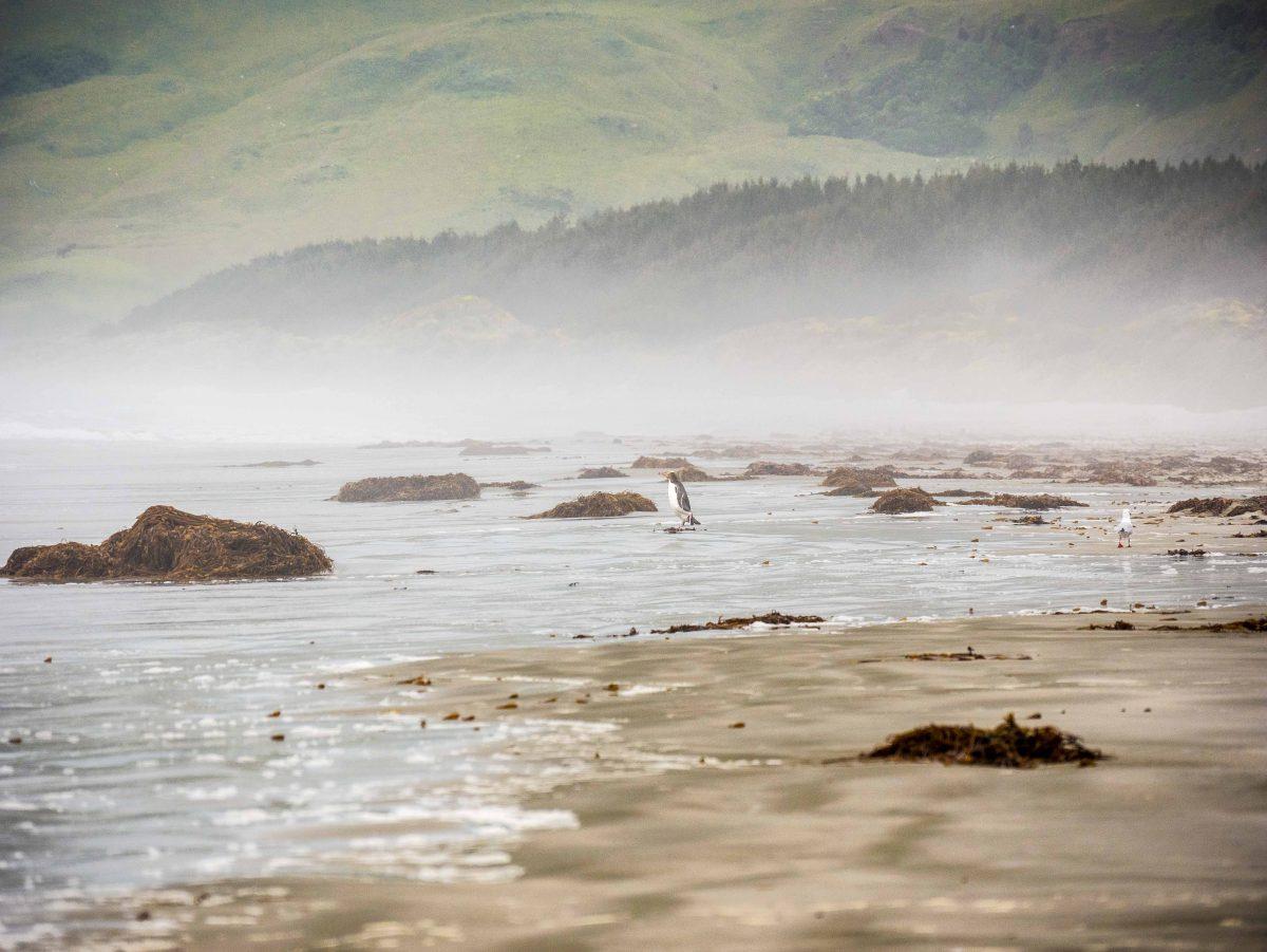 Gelbaugen Pinguin Otago Peninsula