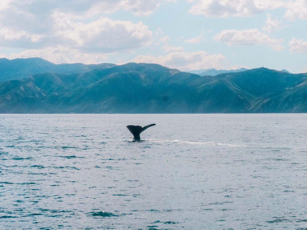 Walschwanzflosse beim Whale Watching in Kaikoura
