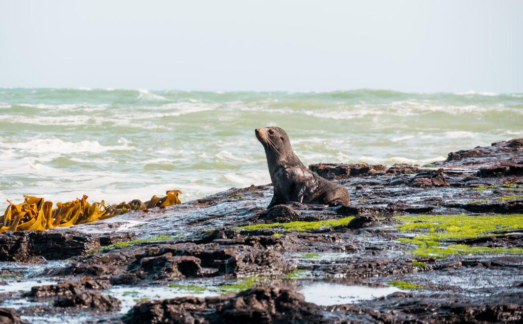 Curios Bay - Robbe - Catlins