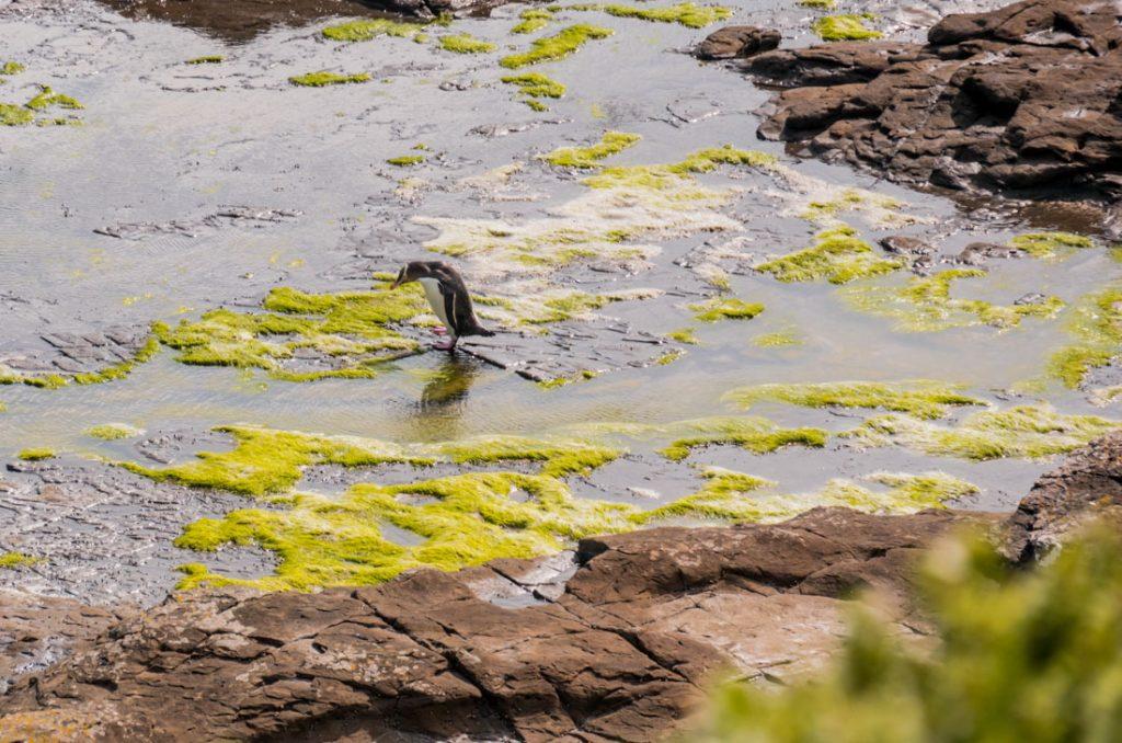 Gelbaugen Pinguine in den Catlins