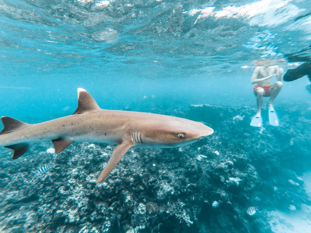 Haie schnorcheln in Fidschi