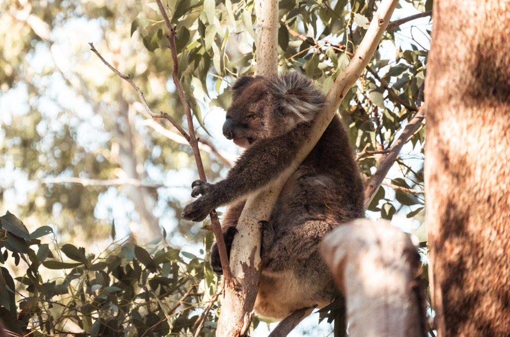Koala im Yanshep Nationalpark