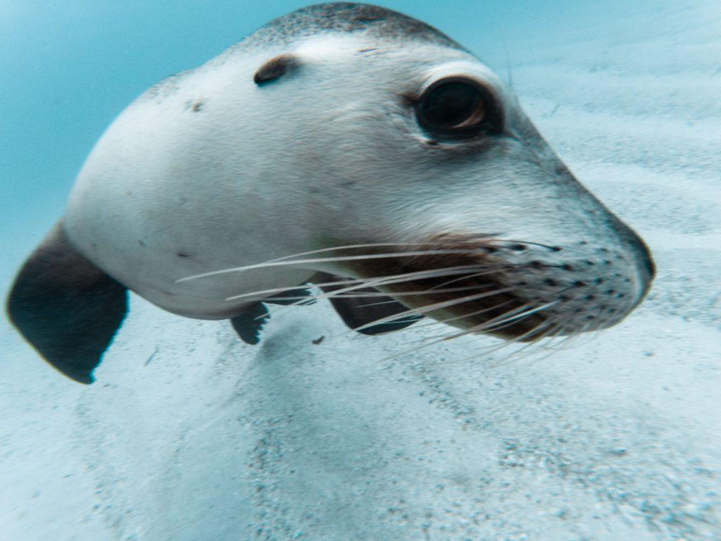 Schnorcheln mit Robben in Jurien Bay