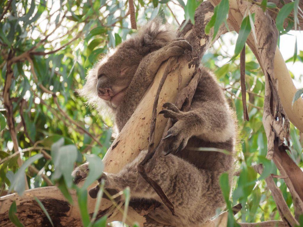 Koalas an der Great Ocean Road