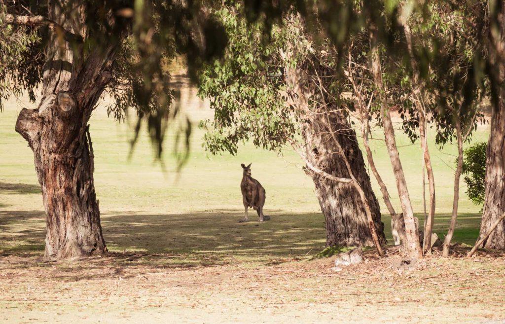 Golfplatz mit Kängurus in Anglesea