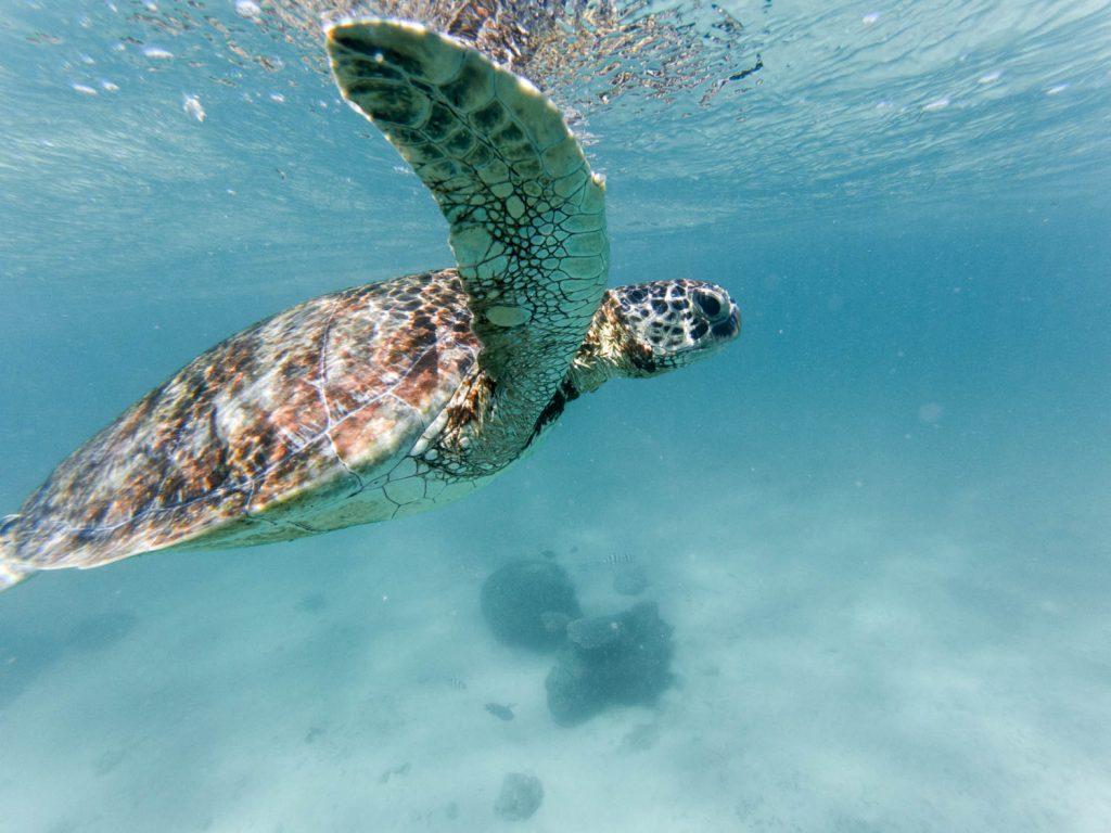 Schildkröte im Ningaloo Riff in Westautsralien
