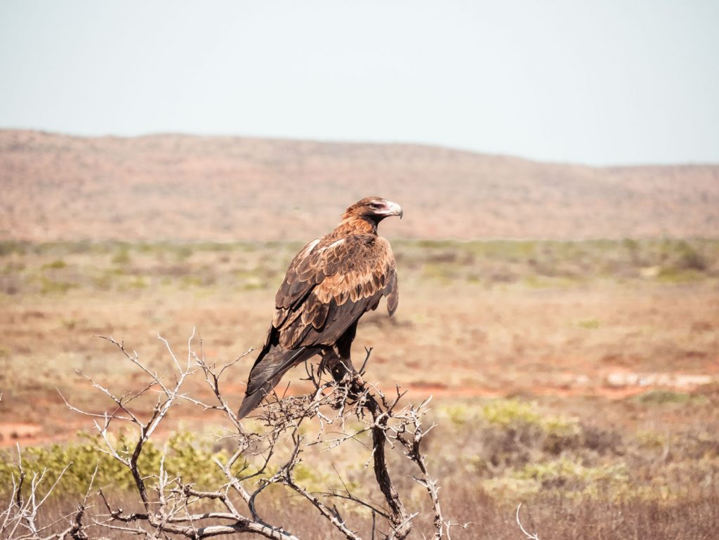 Adler im Cape Range Nationalpark