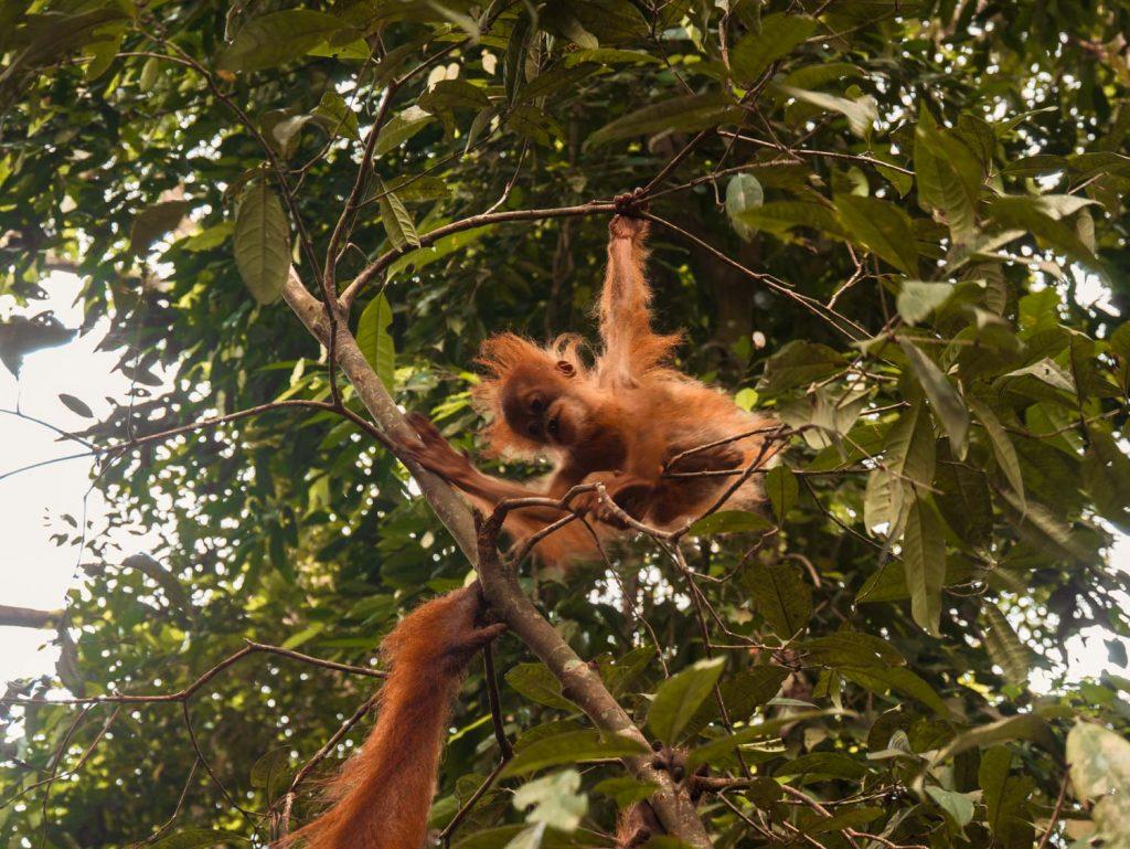 Orang Utan Baby Sumatra