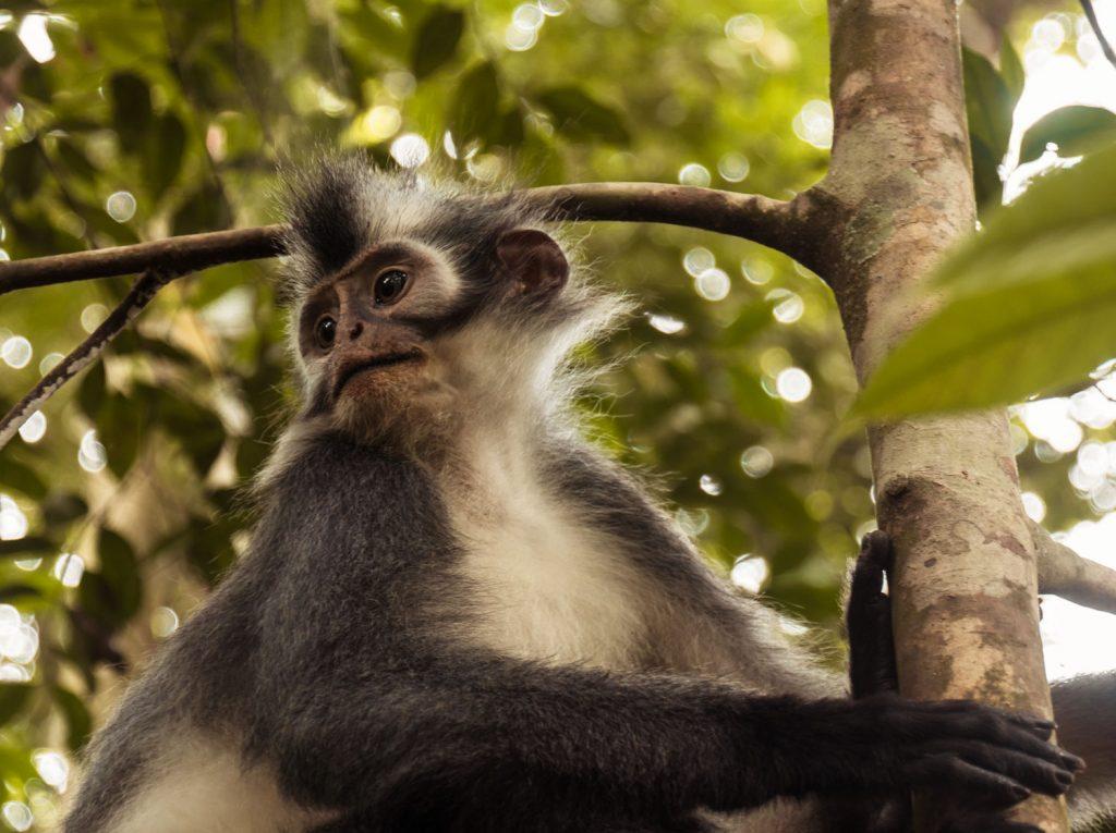Thomas Leaf Monkey Sumatra