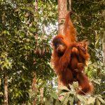 Orang Utan Weibchen Gunung Leuser Nationalpark