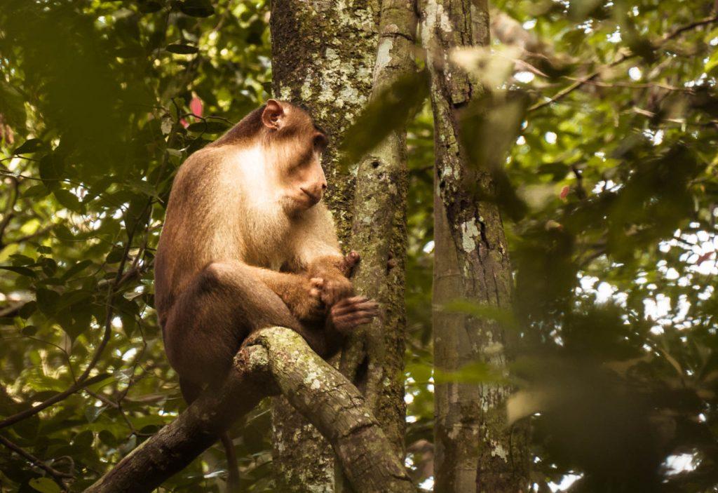 Pigtail Makake Sumatra